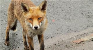 Fearless Mr Fox