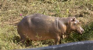 Hunt for Escobar's Hippos, The