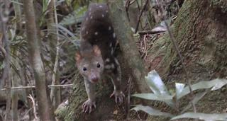 Quolls: Fast & Furious
