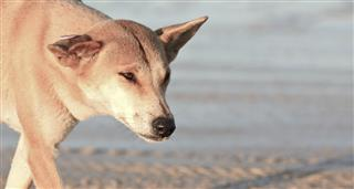 Real Dingo, The