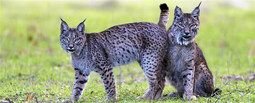 Dehesa - Forest of the Iberian Lynx