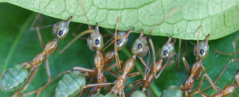 Green Tree Ants: Friend Or Foe?