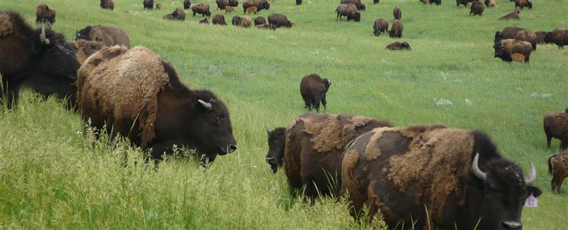 Return Of The Buffalo - Restoring The Great American Prairie