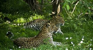 Leopards Amongst Us