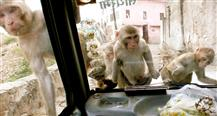 Monkey Thieves (Series 2)
