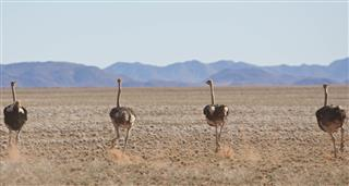 Ostrich: Life On The Run, A