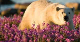 Polar Bear Summer