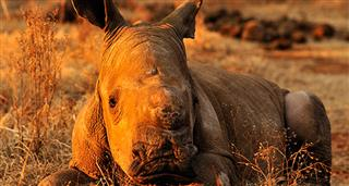 Rhino Trade Uncovered