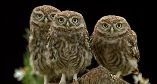 Secret Life Of Baby Owls, The