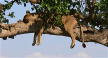 Lion Tree, The