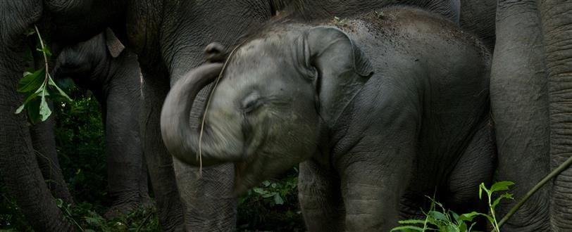 China's Last Elephants