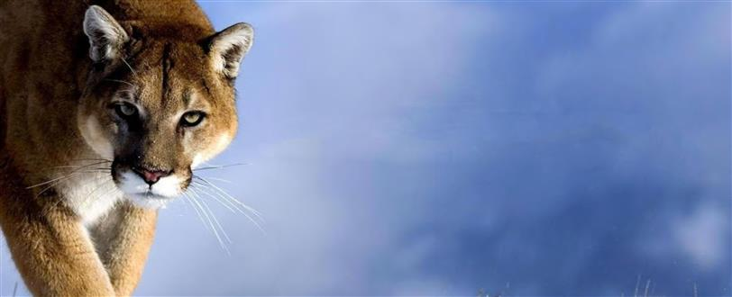 Mountain Lion And Me, The