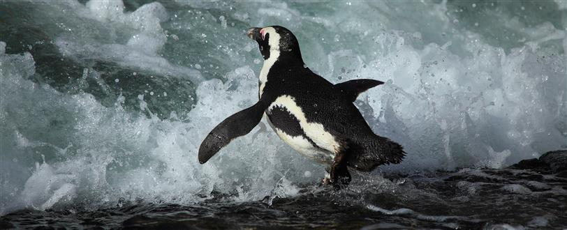 Penguins: The African Chaplin
